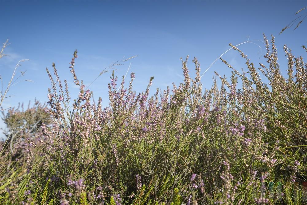 Bühende Heidepflanzen  in der Braderuper Heide/Sylt, Sonnenschein, blauer Himmel