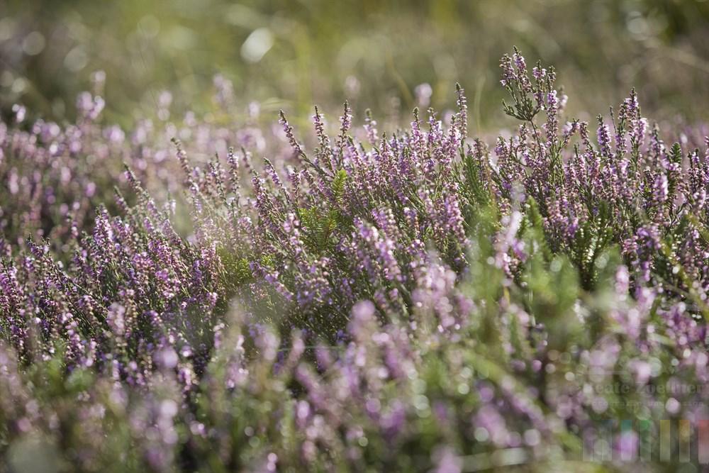 Blühende Heidepflanzen im Naturschutzgebiet Braderuper Heide auf Sylt