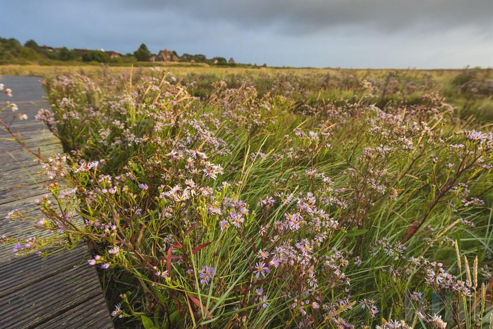 Blühende Strandastern (Tripolium pannonicum) an einem regnerischen Spätsommermorgen. Nur für wenige Sekunden erhellte die Sonne die Salzwiesen