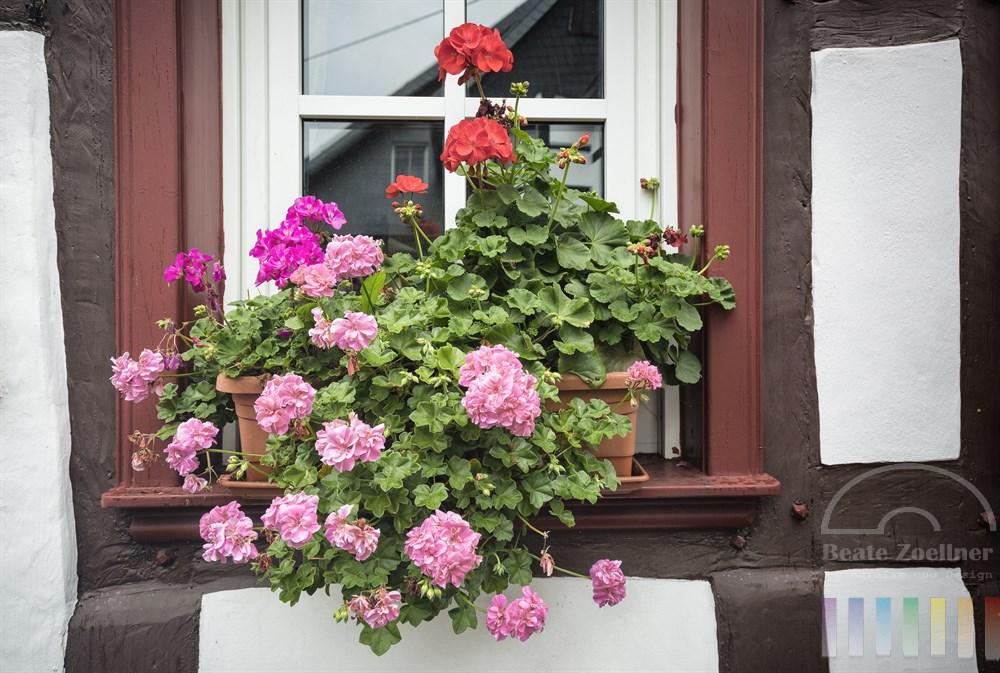 Blühende Geranien in den Farben, rot, pink und rosa wachsen in einem Terrakotta-Balkonkasten und schmücken den Fenstersims eines historischen Fachwerkhauses in Erpel