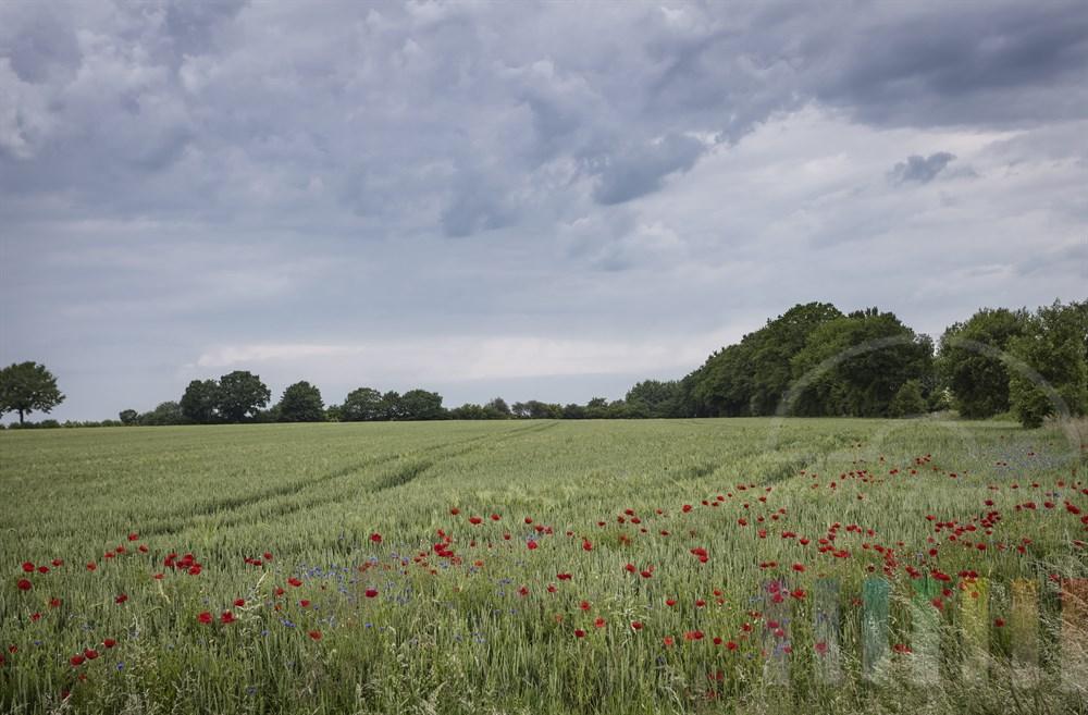 Getreidefeld mit blühenden Mohn- und Kornblumen unter Wolkenhimmel
