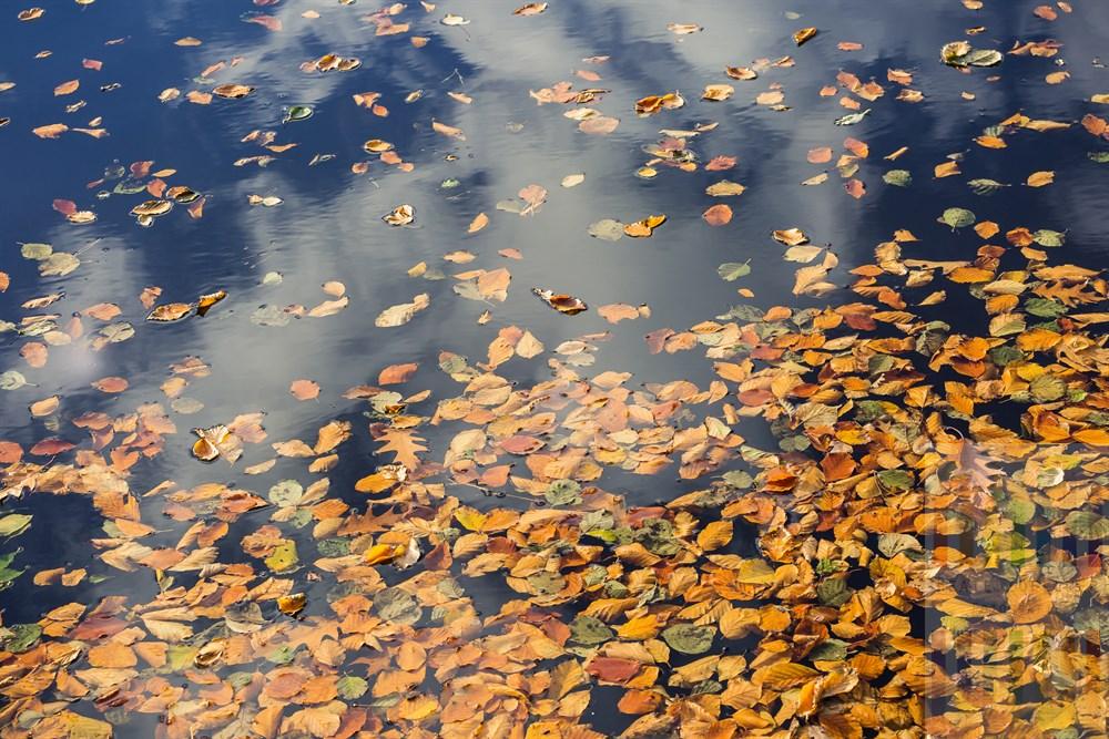 Buntes Herbstlaub vorwiegend von Buchen schwimmt auf der Wasseroberfläche des Weddelbrooker Sees im Kreis Segeberg