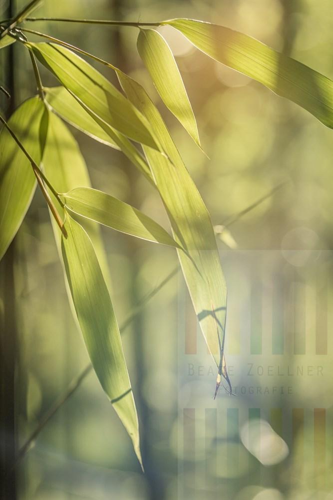 Bambusblätter im Licht der Abendsonne, gegenlichtig