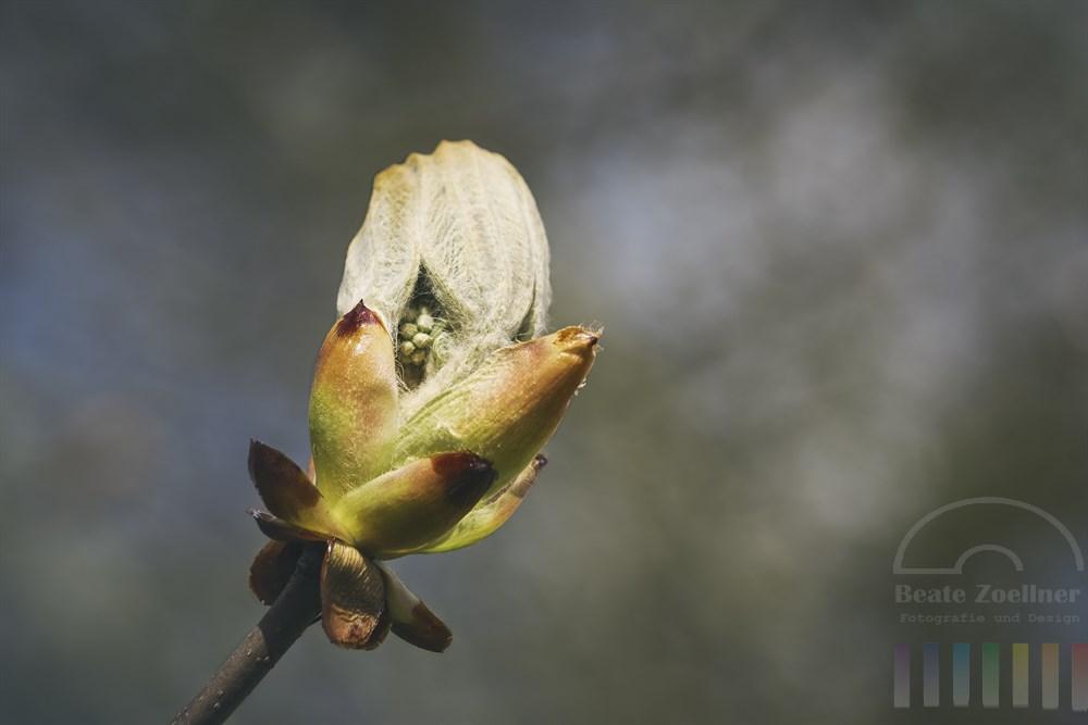 Kastanien-Knospe öffnet sich langsam im Licht der Frühlingssonne und gibt schon mal einen Blick auf die zu erwartende Blüte frei