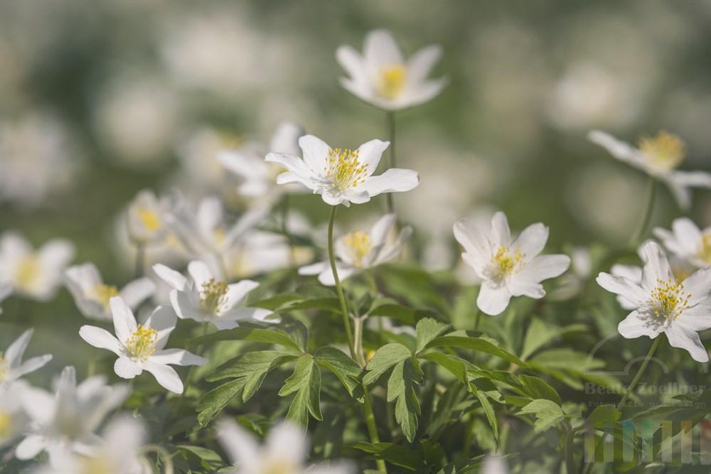 Blühende Buschwindröschen (Anemone nemorosa) auf Waldboden im Sonnenschein