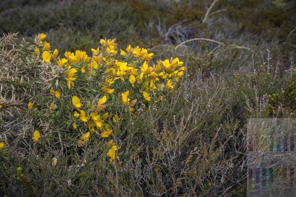 Leuchtend gelb blühender Ginster (Genista) in einem Sylter Dünental