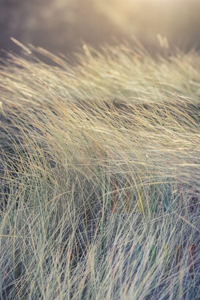 Vom Wind bewegtes Dünengras im Sonnenlicht