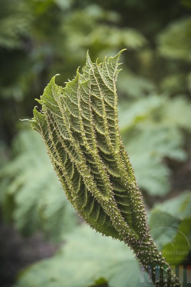Knospe eines Mammutblattes (gunnera manicata)