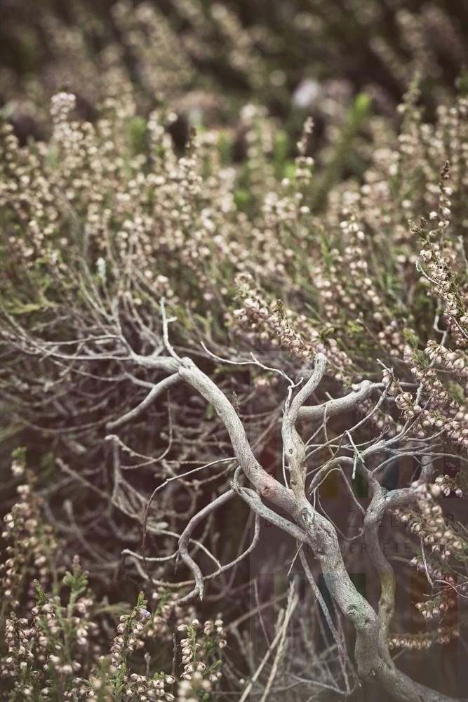 Verblühte und verholzte Besenheide (Calluna vulgaris) auf Sylt