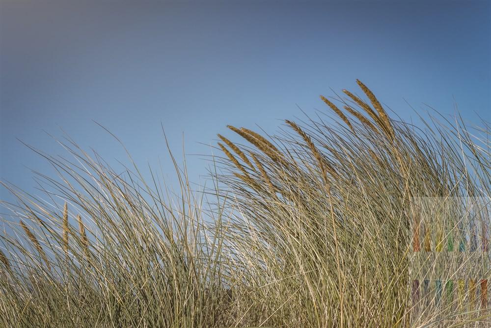 Strandhafer (Ammophila) auf Sylter Dünen im Licht der Herbstsonne vor wolkenlos blauem Himmel