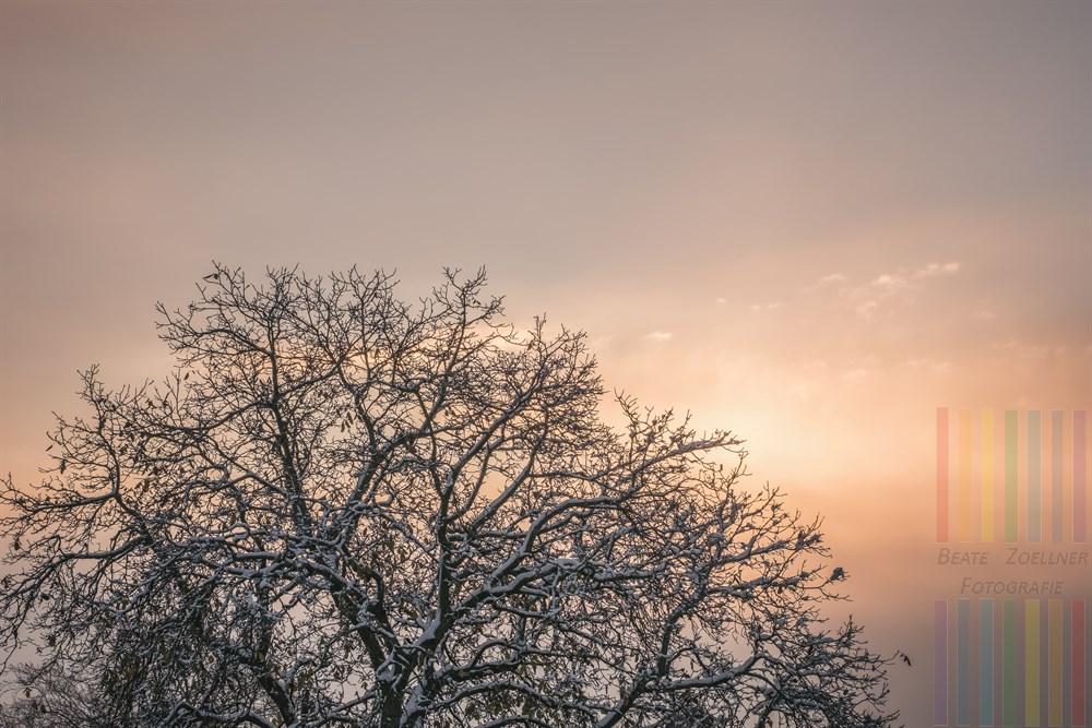 Verschneiter Krone eines Walnussbaumes im Licht der noch von Dunstschleiern umgebenen Morgensonne