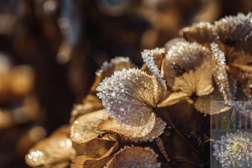 Eiskristalle der ersten Frostnacht zieren die welcken Blüten dolden einer Hortensie und schmelzen in den Strahlen der Morgensonne