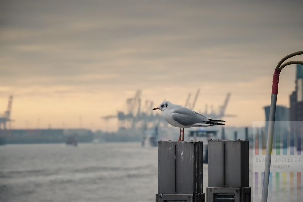 Möwe sitzt am Schiffsanleger am Hamburger Fischmarkt auf einem Dalben und schaut auf die Elbe, das Licht ist winterlich-fahl