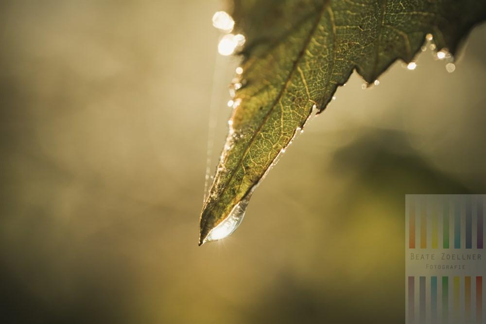 Sonne reflektiert in einem Tropfen , der an einer Blattspitze hängt, Makro-Aufnahme