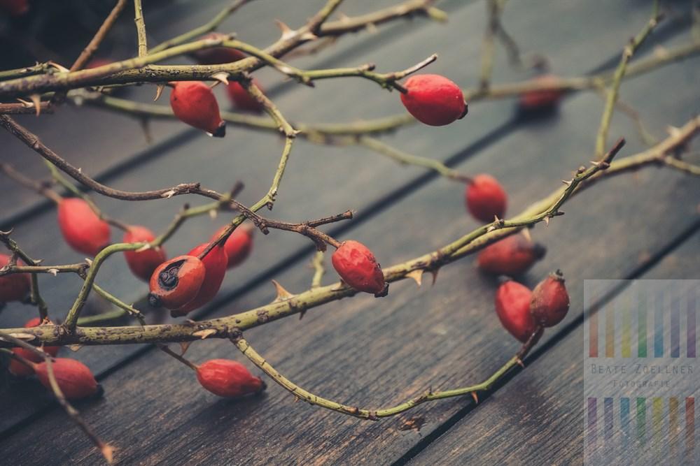 Frisch geschnittene Zweige mit überreifen, roten Hagebutten liegen dekorativ auf einem regennassen Gartentisch