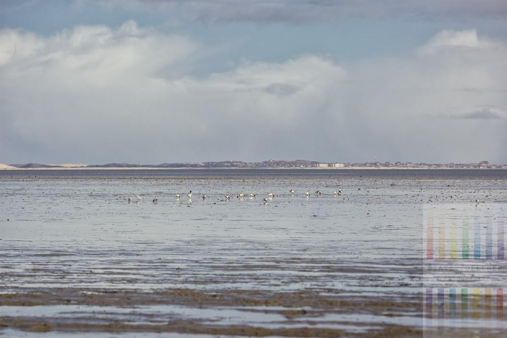 Barndgänse suchen im Wattenmeer vor Sylt nach Nahrung. Am Horizont sind die Ortschaft List und die Wanderdünen zu erkennen, sonnig