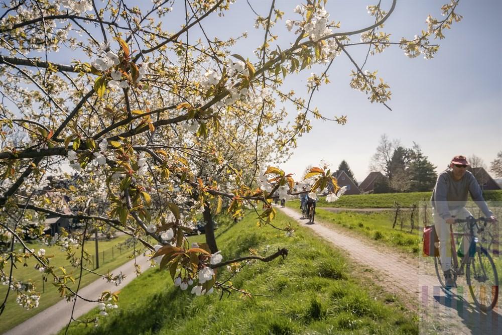 Radfahrer auf dem Deich unter blühenden Obstbäumen im Alten Land