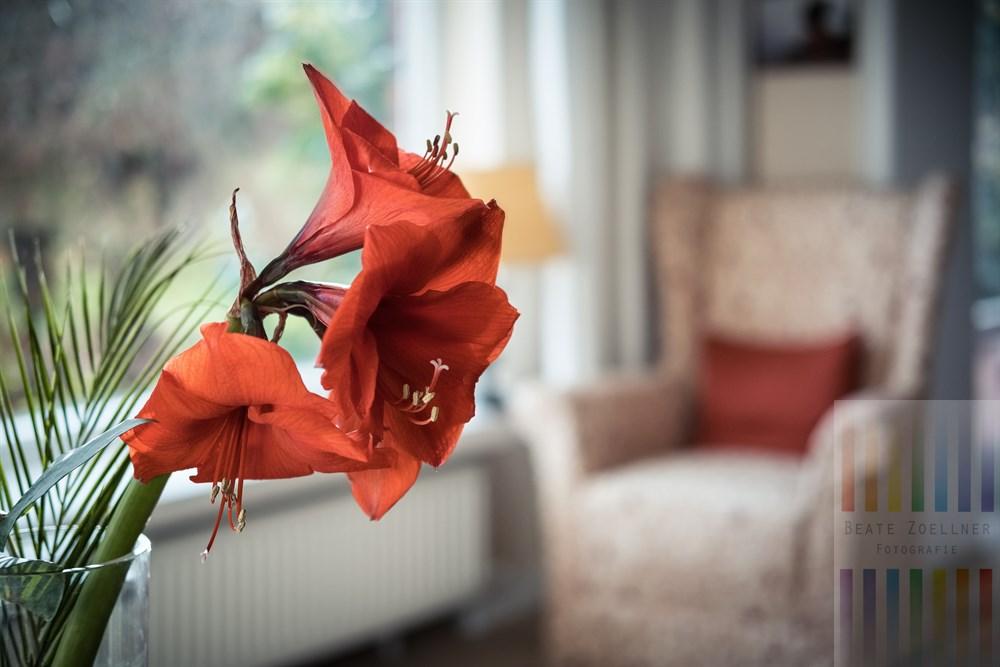 Blühende Amaryllis in einer Glasvase. Im Hintergrund ein Ohrensessel in klassicher Form
