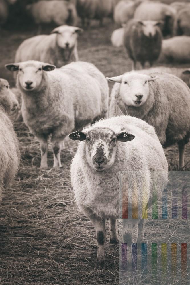Schafe stehen auf einer Weide in Keitum/Sylt und gucken neugierig in die Kamera