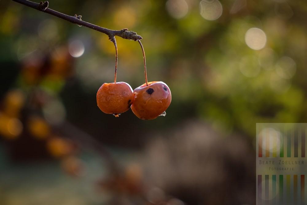 Zwei noch am Zweig hängende Zieräpfel faulen langsam im Licht der Dezembersonne