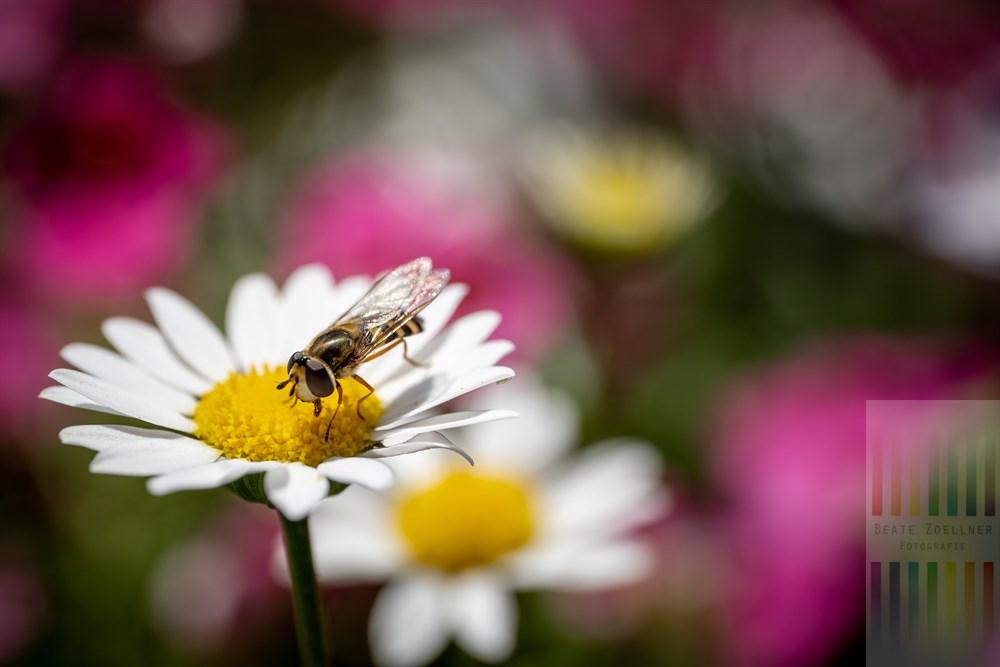 Pollen sammelnde Schwebfliege auf einer Margaritenblüte