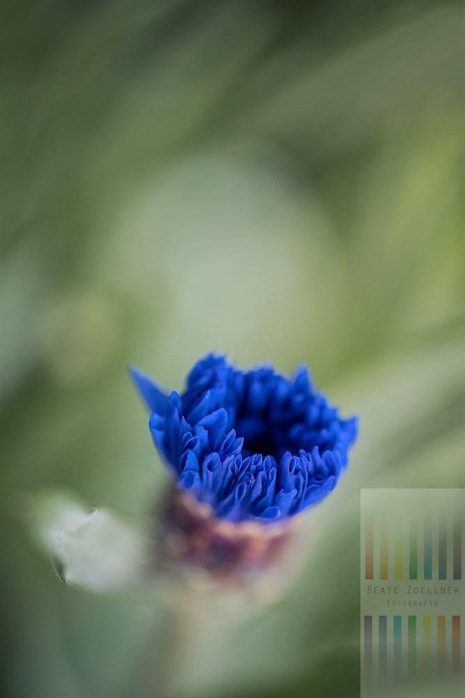 Knospe einer blauen Kornblume entfaltet sich langsam zur Blüte