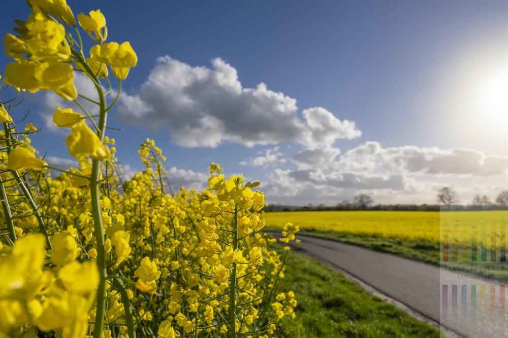 Überall auf den Feldern Schleswig-Holsteins blüht leuchtend gelb der Raps in Wind und Sonnenschein und bildet einen wunderbaren Kontrast zum blauen Himmel