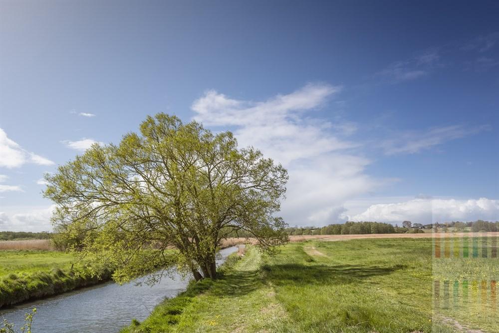 Alte Weide steht im Sonnenschein an der Haberniser Au. Diese mündet wenige hundert Meter weiter in die Ostsee.
