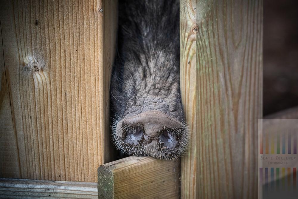 Minischwein-Eber steckt seinen Rüssel neugierig durch die hölzernen Zaunpfähle