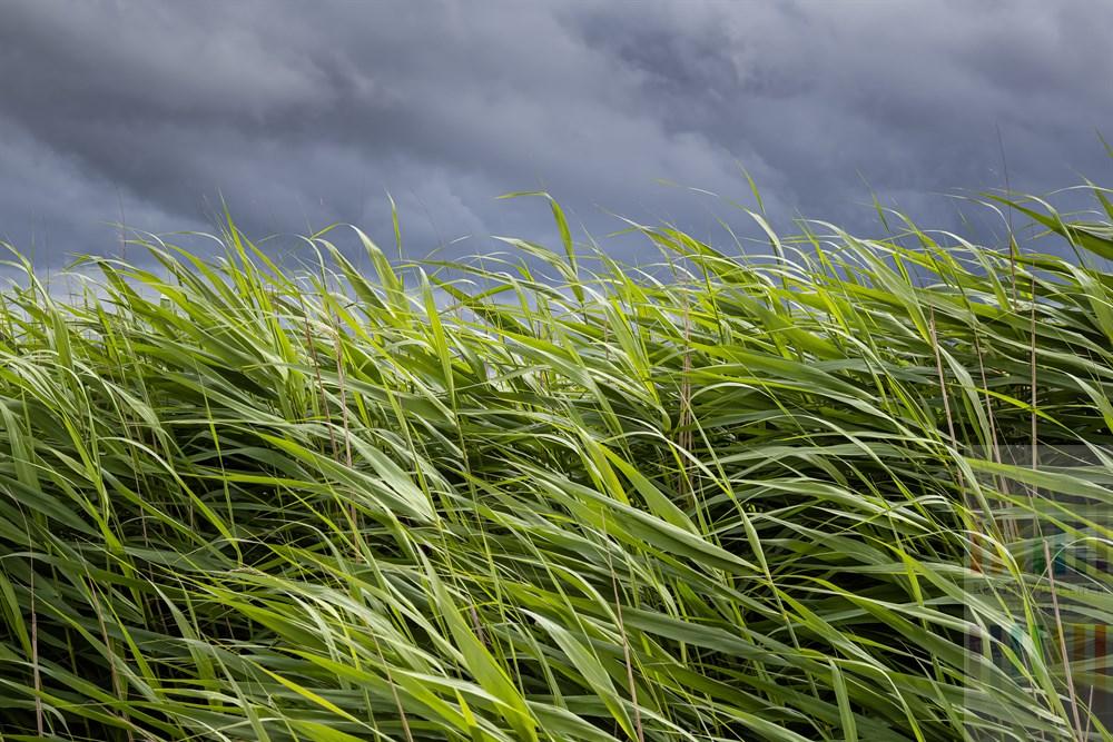 Schilfhalme werden von der Sonne beschienen und vom Nordseewind raschelnd bewegt. Über ihnen dunkle Regenwolken