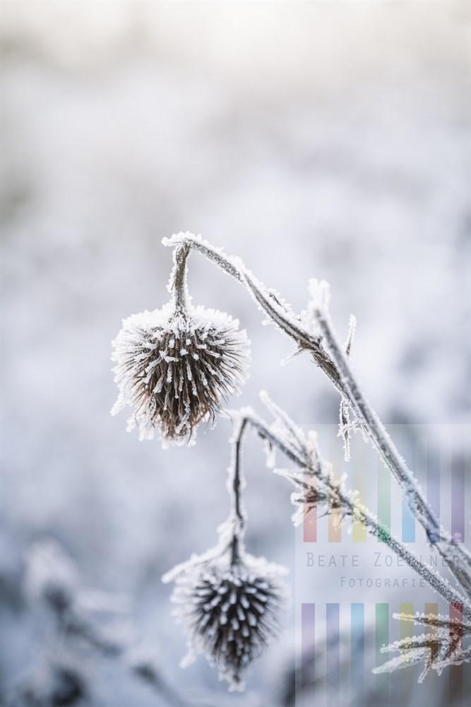 verwelkter und von Eiskristallen überzogener Blütenstand einer Distel