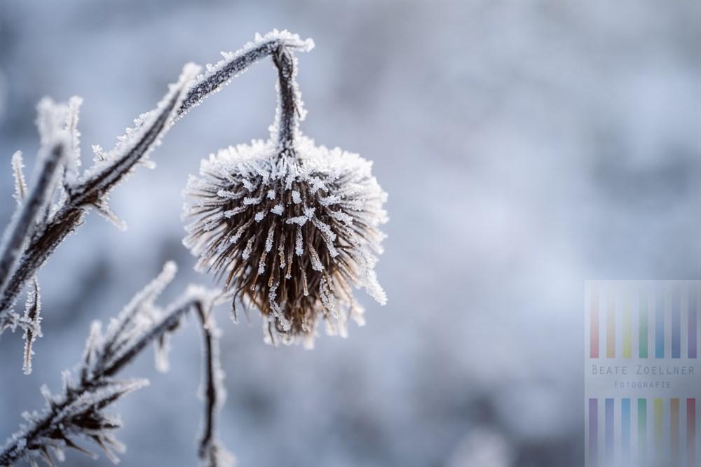 verwelkter Blütenstand einer Distel von Eiskristallen überzigen
