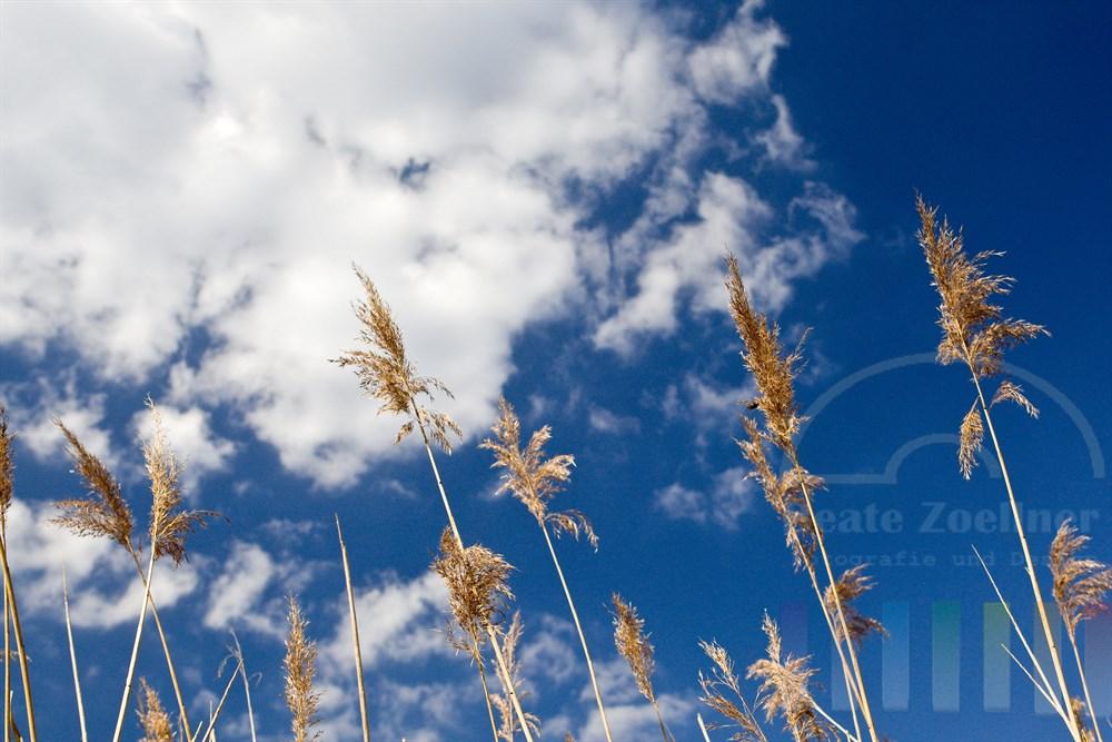 Schilfhalme wiegen sich vor weissblauem Himmel im Wind