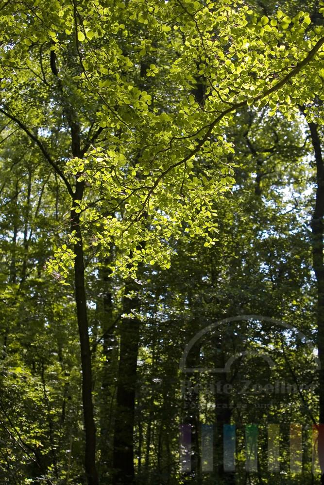 Blätter einer Buche leuchten im Sonnenlicht. Im Hintergrund Laubwald