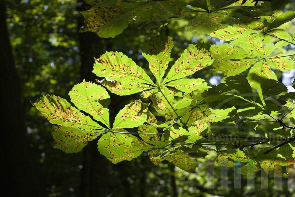 von der Kastanienminiermotte (Cameraria ohridella) befallene Blätter einer Rosskastanie. Die Larven des Schädlings fressen siche entlang der Blattadern durch das Blatt. Durch die durchscheinende Sonne lassen sich die Larven und die durch sie entstandenen Schäden hier gut erkennen