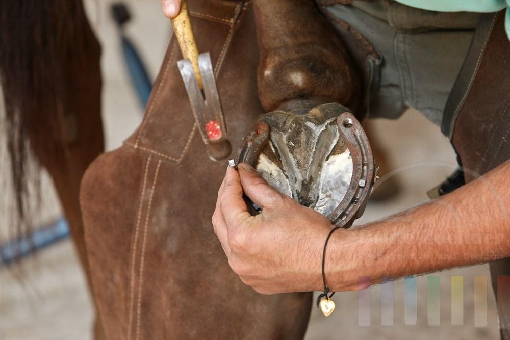 Schmied schlägt Nagel in das Hufeisen am Hinterbein eines Pferdes ein