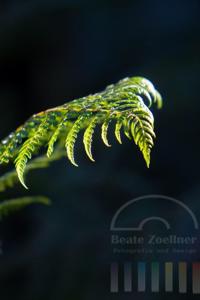 Sonnenstrahl beleuchtet das Blatt eines Baum-Farnes im schattigen Wald