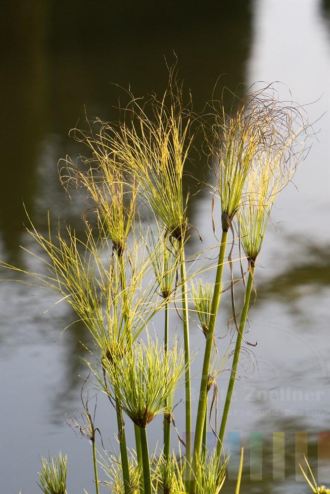 Papyruspflanze am Ufer eines Teiches