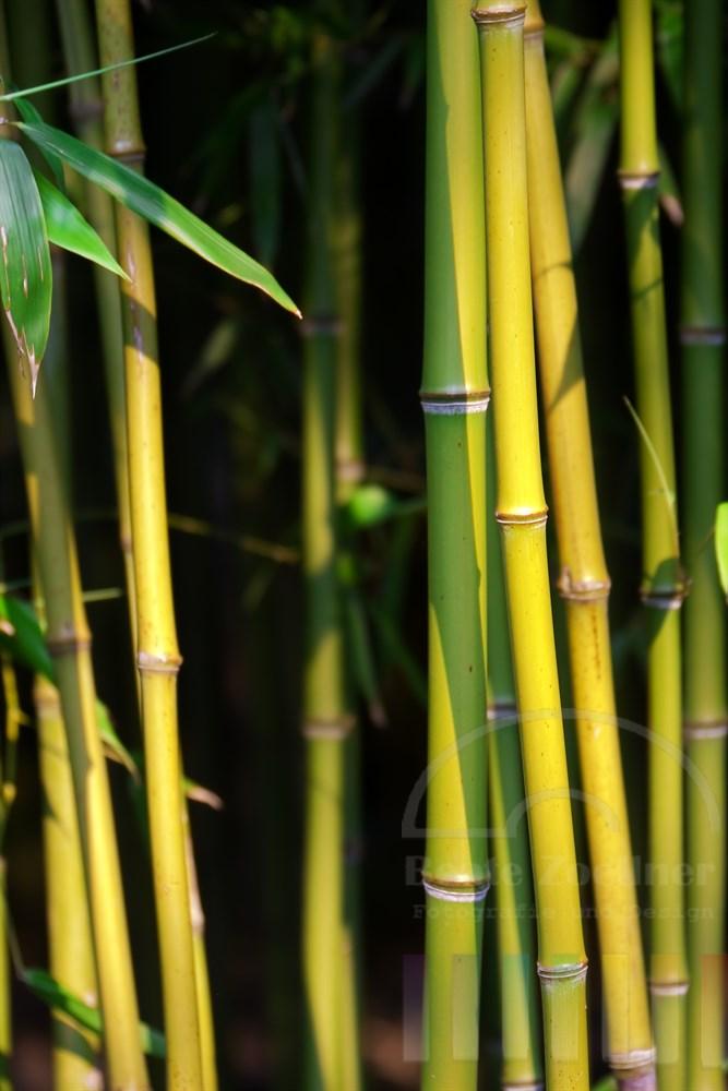 Abendsonne beleuchtet Bambus-Rohre