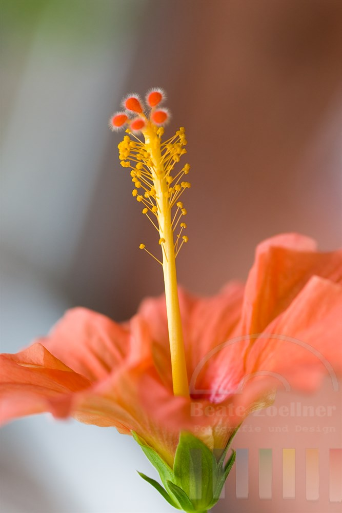 makro: Hibiskusblüte mit Staubgefäßen