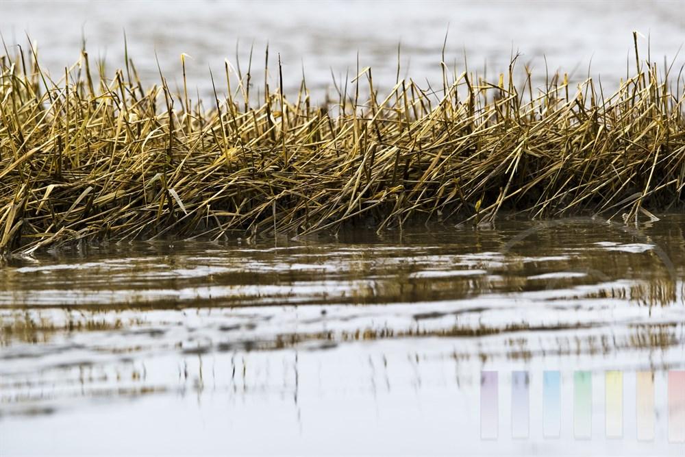 Das Salz-Schlickgras (oder englische Schlickgras) waechst im Gezeitenbereich des Wattenmeeres