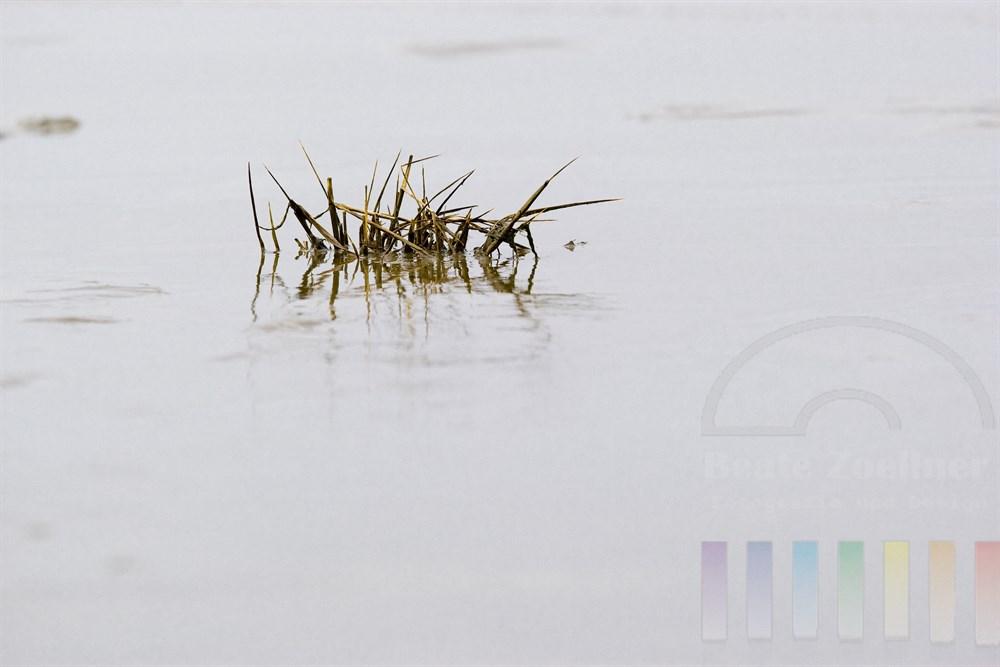 Schlickgras in der Vegetationspause im Salzwasser des Wattenmeeres