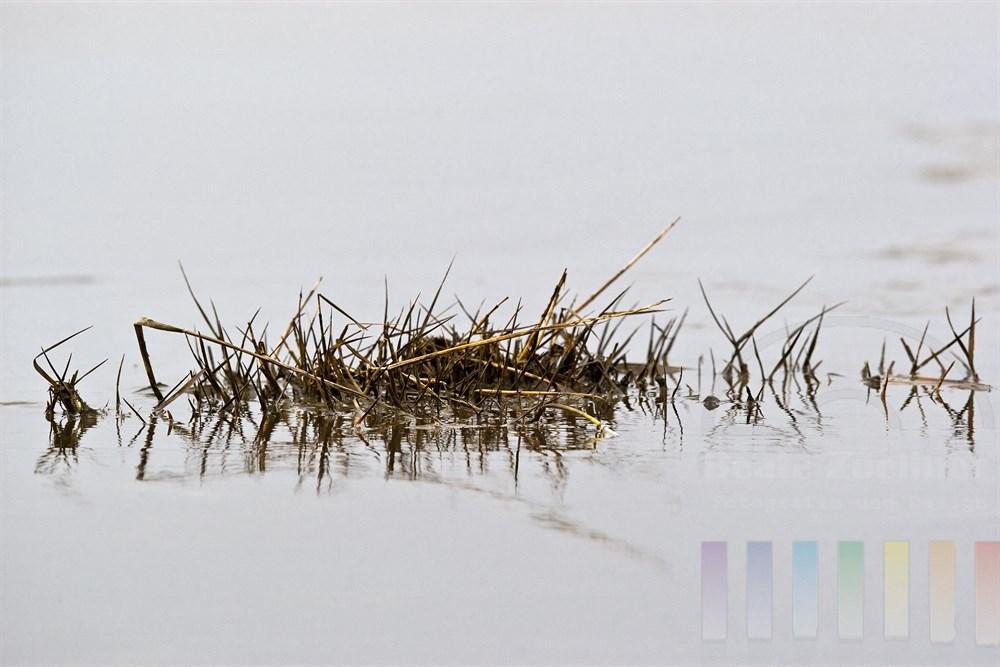 englisches Schlickgras  (Spartina anglica) in der Vegetationspause im Wattenmeer vor Sylt