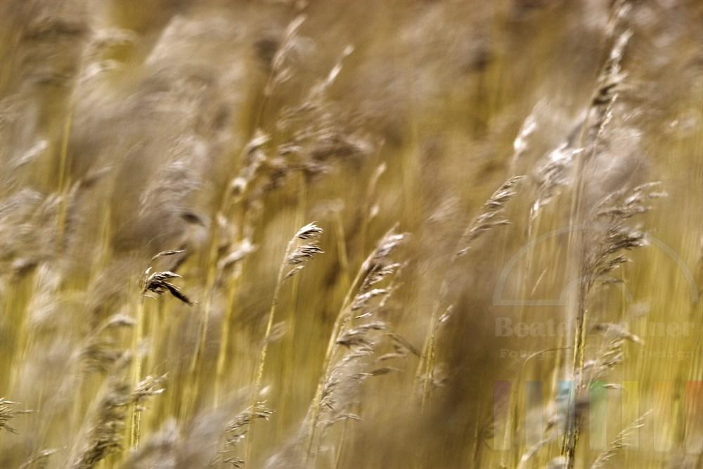 Schilfhalme biegen sich im Wind
