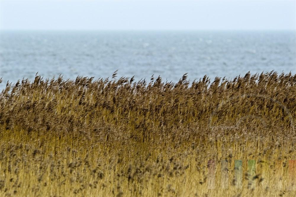 Schilfhalme am Wattenmeer wiegen sich im kraeftigen Wind