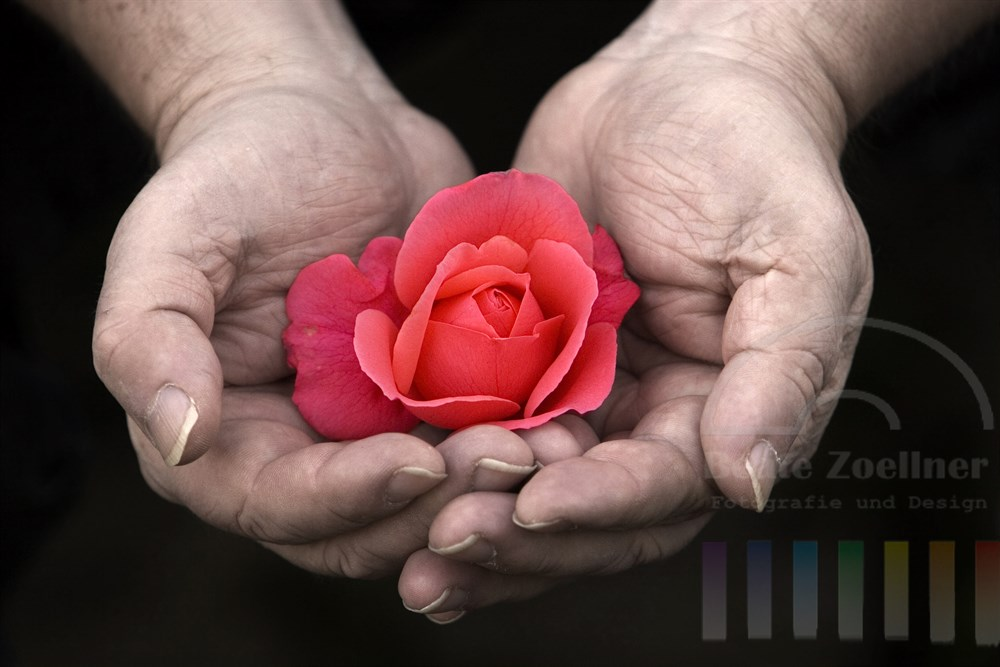 zarte Rosenblüte liegt in geöffneten, kräftigen Männerhänden