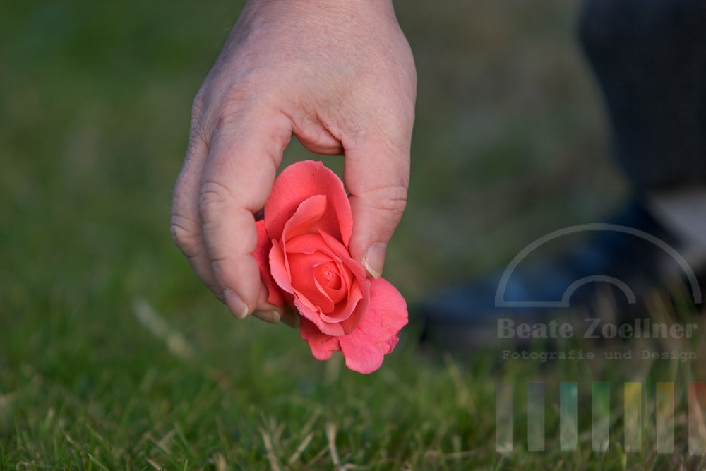 Kräftige Männerhand greift nach zarter Rosenblüte, die auf grünem Rasen liegt. Der Fuss im Hintegrund zeigt, dass sich der Mann bücken muss, um die Blüte zu greifen.