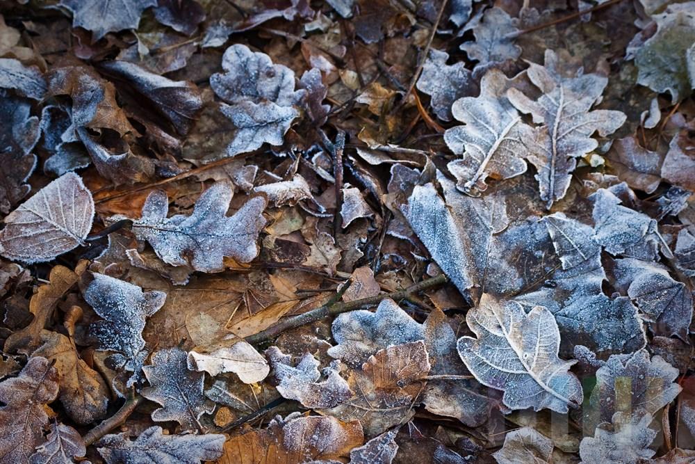 Zahlreiche Blätter von Eichen, Buchen und Ahorn liegen auf dem Erdboden und sind teilweise von frostigem Rauhreif überzogen
