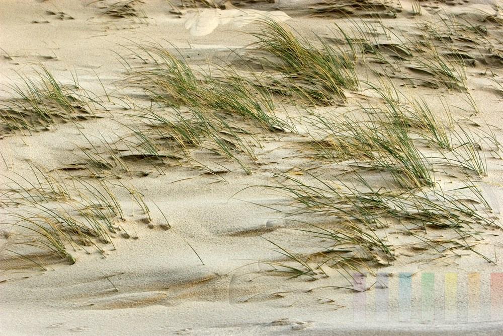 Halme des Strandhafers biegen sich im Wind, Sand decktmehr und mehr die Halme zu
