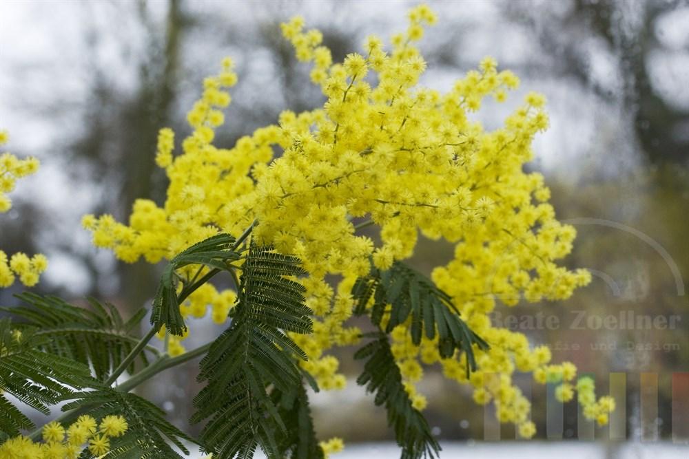 gelbe Blueten an im Gewaechshaus stehenden Mimosenbaum, im Hintergrund stehen kahle, winterliche Baeume